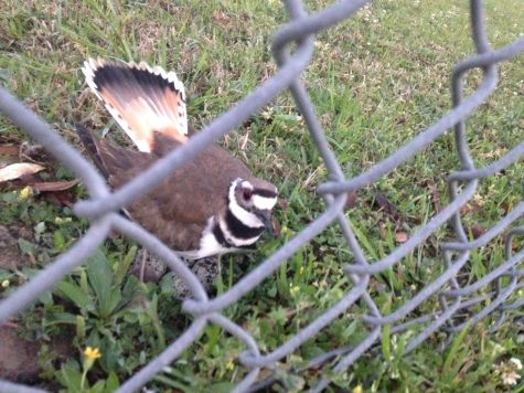 Humble ISD decides not to move mother Killdeer and nest from K-Park soccer field