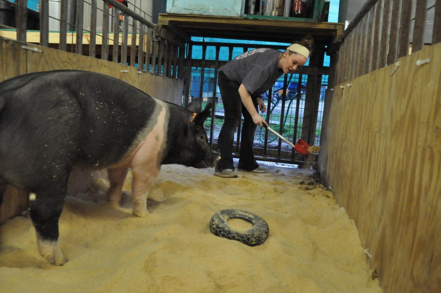 Senior+Lauren+Kocian+cleans+out+her+pig+Ellie+May%27s+cage.+She+works+with+her+animals+before+and+after+school.+