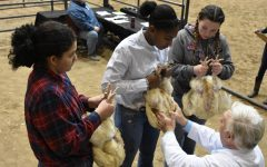 Sophomore Amri Williams shows animals at the Humble Livestock Show in early January with the help of sophomores Mackenzie Dandridge and Holly Emms. She was also raising animals for the Houston Livestock Show but did not get an opportunity before the show was closed.