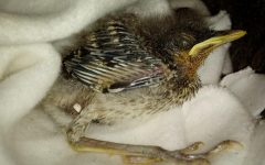 This is a baby bird I found outside in my backyard. A recent storm dragged him to my house, so my sister Sofia and I have been taking care of him, feeding him and giving him water. The good news is that his mom comes to visit him everyday and she feeds him, but he can´t fly yet so he cannot go back to the nest with the rest of his family. He has kept me distracted and happy. I am not bored anymore and it is just fun to take care of him.