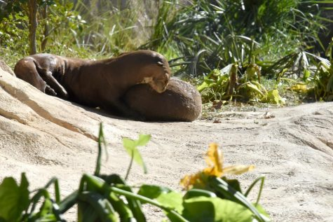 Two of the giant river otters relax together in the Pantanal exhibit at the Houston Zoo. There are 51 species and 150 animals in the new exhibit.
